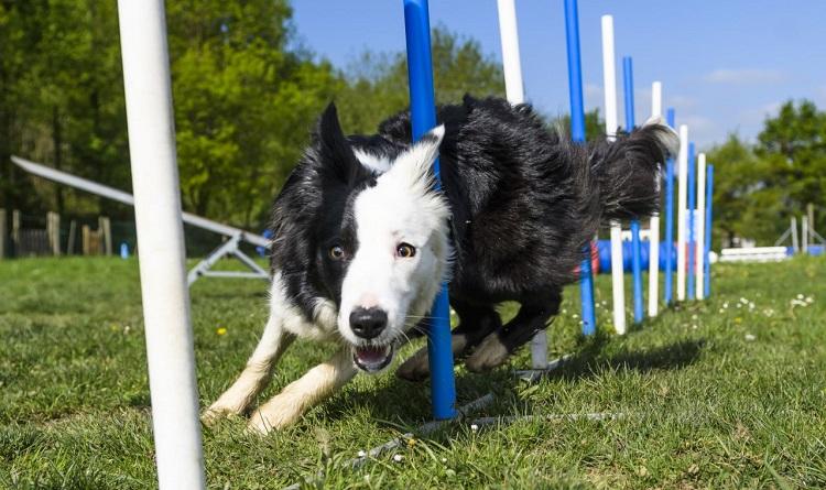 bordie collie ejercicios de entrenamiento