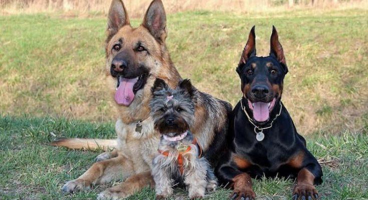 Curiosidades de las razas caninas