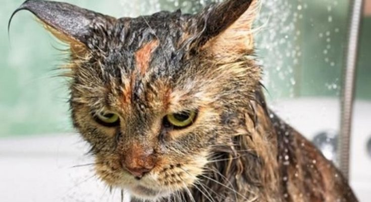 Es cierto que los gatos odian mojarse