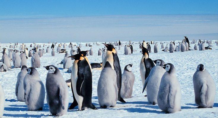 La dura infancia de un pingüino emperador