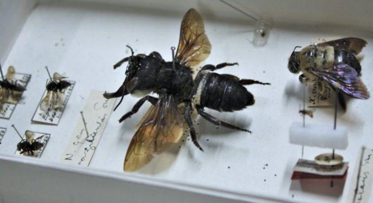 Vuelve a aparecer la abeja más grande que creíamos extinta
