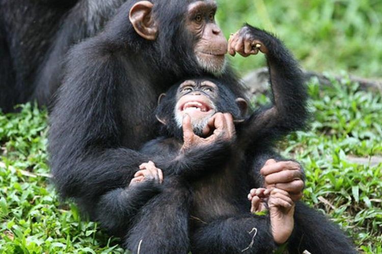 El poderío físico de un chimpancé vs un humano