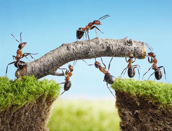 Las hormigas fueron vitales evolutivamente para los cultivos